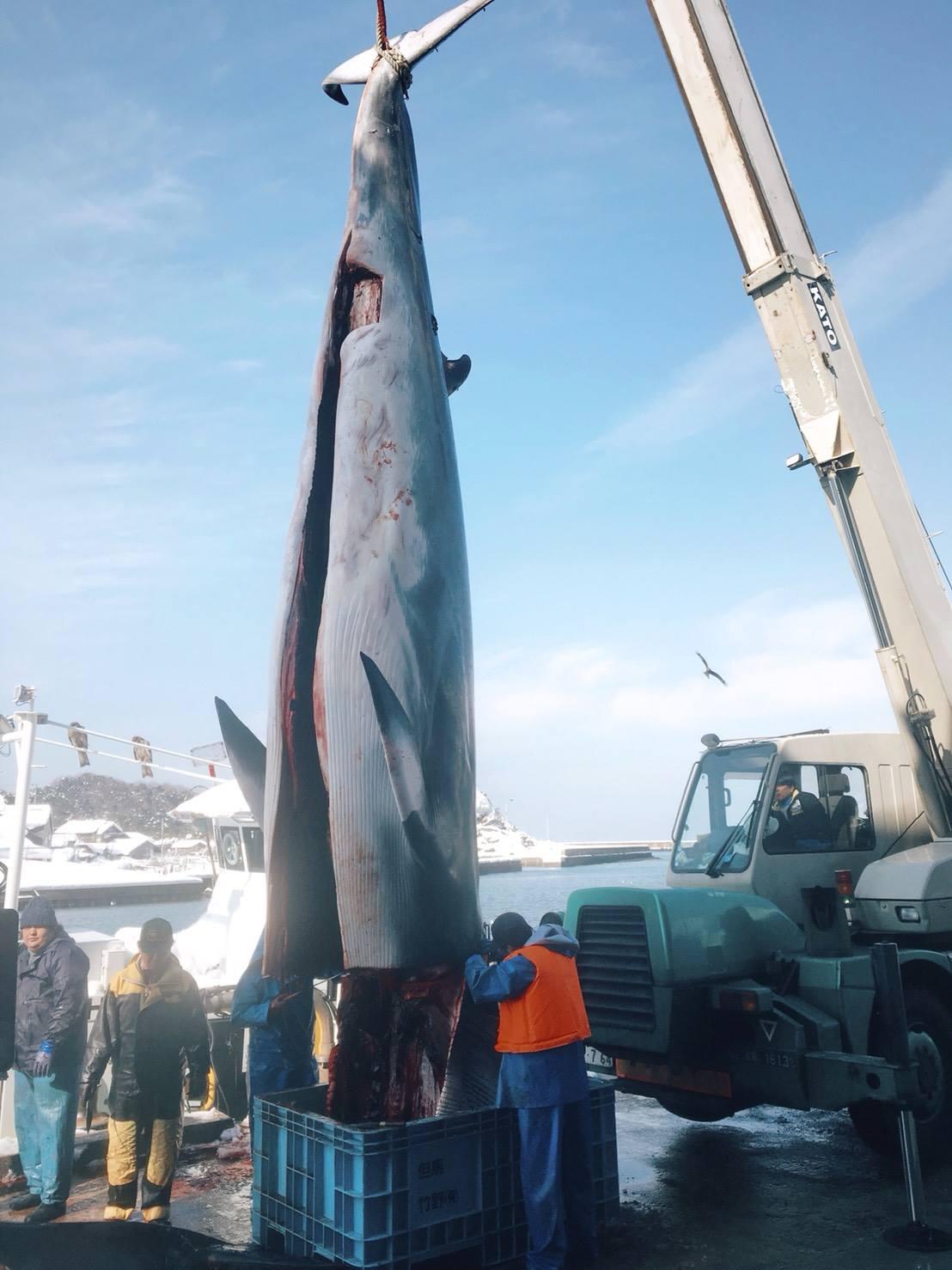 クジラが水揚げされました