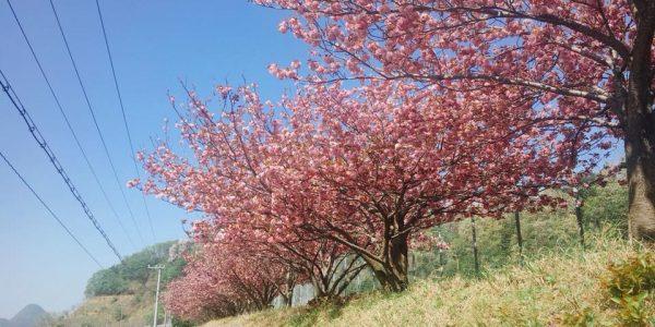 八重桜がきれいです。